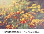 French Marigolds  Tagetes...