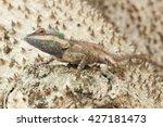 blue chameleon  blue crested... | Shutterstock . vector #427181473