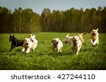 Stock photo a large group of dogs golden retrievers running in the summer through the green valley 427244110