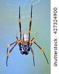Small photo of Australian female Golden orb weaver spider