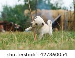 Stock photo very cute puppy lying on green grass chewing his favorite stick 427360054