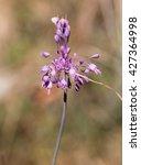 Small photo of Wild flower in macrophotography (Allium carinatum)