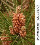 Small photo of The Cone of Pinus thunbergii (Japanese Black Pine) on the Island of Tresco in the Isles of Scilly, England, UK