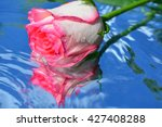 a beautiful rose with... | Shutterstock . vector #427408288