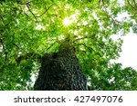 big tree with green leaves  sun ... | Shutterstock . vector #427497076