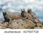 Marine Iguana Resting On Lava...