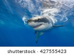 Great white shark swimming just ...
