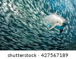 Dolphin Underwater On Reef...