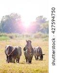 wild zebra at sunrise | Shutterstock . vector #427594750