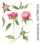 set of watercolor peonies... | Shutterstock . vector #427780114