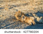 Young Male Lion Cuddling With...