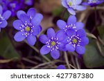 Hepatica  Little Blue Flowers...