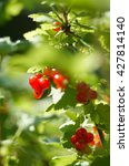 Red Currants Branch With...