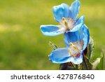 Himalayan Blue Poppy Flower...