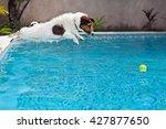 playful jack russell terrier... | Shutterstock . vector #427877650