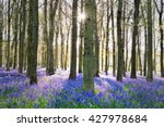 English Bluebells Carpeting Th...