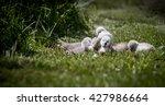 Bundle Of Cygnets Sat On Grass...