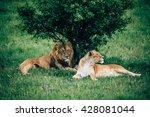 beautiful lions in savannah | Shutterstock . vector #428081044