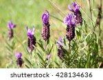 lavender flowers | Shutterstock . vector #428134636