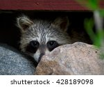 Hiding Raccoon 1