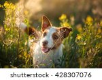 Stock photo dog jack russell terrier walking in a field in summer 428307076