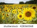 field of sunflowers  field of... | Shutterstock . vector #428360368