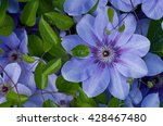 Flowering Blue Clematis In The...