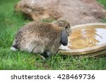 Adorable Holland Lops Rabbit...