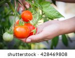 Collecting Red Tomato From...
