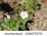 "Small photo of White ""Androsace Strigillosa Franchet"" flowers in St. Gallen, Switzerland. It is native to Himalayas (Nepal, Bhutan)."