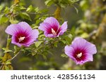Blooming Rose Of Sharon Or...