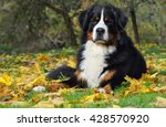 Bernese Mountain Dog In The...