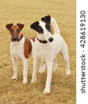 Smooth Fox Terriers At The...