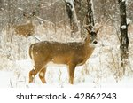 Male White Tailed Deer In The...