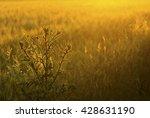 milk thistle on wheat field at...   Shutterstock . vector #428631190