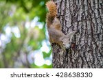 Eastern Gray Squirrel  Sciruus...