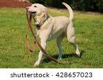 Stock photo yellow lab 428657023
