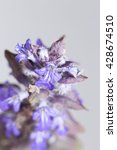 Small photo of Forest flower Ajuga reptans on a white background
