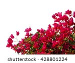Red  Bougainvilleas Isolated O...
