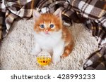 Stock photo ginger kitten with white chest long haired red orange kitten sit at brown plaid blanket sweet 428993233