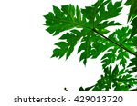 Papaya Leaves On White...