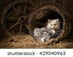 Portraits Fluffy Tabby Kittens...