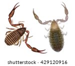 pseudoscorpion  also known as a ... | Shutterstock . vector #429120916