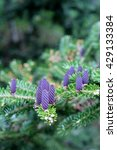Small photo of Shallow depth of field image of new purple pine cones on a Norway Spruce tree, pretty tree branches in spring time