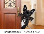 Stock photo french bulldog dog waiting a the door at home with leather leash in mouth ready to go for a walk 429155710
