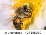 Bee On A Flower. Macro