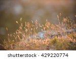 closeup of grass in warm sunset ... | Shutterstock . vector #429220774