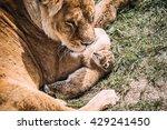 wild lions pride in african... | Shutterstock . vector #429241450