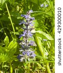 Small photo of Bugleherb or bugleweed, Ajuga reptans, blossom with bokeh background, close-up, selective focus, shallow DOF
