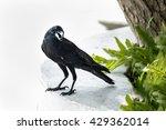 crow on tree in the garden.  | Shutterstock . vector #429362014